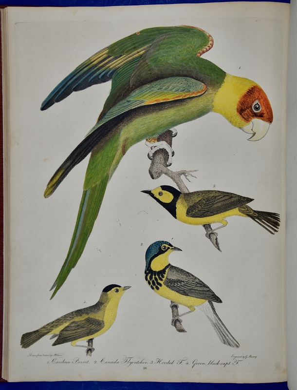 """Alexander Wilson writes fondly of the Carolina Parakeet, America's only parrot species, but he also discusses how they were a considerable nuisance to farmers. Their appetites lent them to being """"destroyed in great numbers, for whilst busily engaged in plucking off the fruits or tearing the grain from the stacks, the husbandman approaches them with perfect ease, and commits great slaughter among them."""" To make matters worse, the forests in which these birds lived were cleared in large swaths and their colorful feathers became popular decorations for women's hats. The last Carolina Parakeet died in captivity at the Cincinnati Zoo in 1918. Aside from their bygone charms, Carolina Parakeets were important seed dispersers, meaning their disappearance negatively affected various seed-bearing plants."""